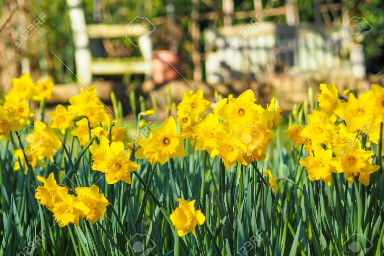 Hermosas Flores De Narcisos Amarillos O Narcisos En El Jardin Fotos - Narcisos-amarillos