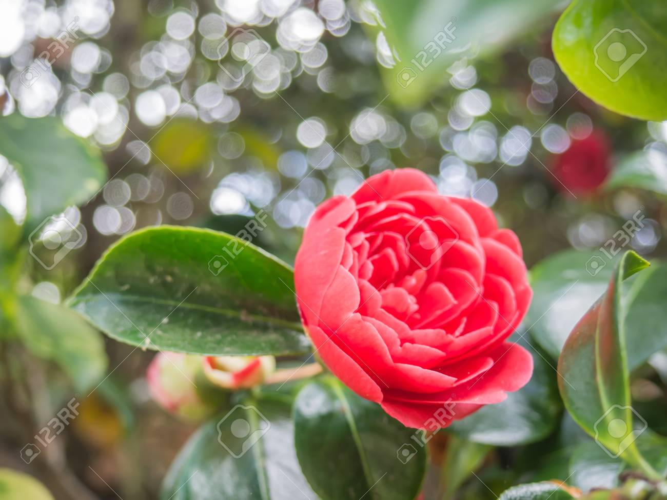 Closeup View Of A Beautiful Tender Pink Camellia Japonica Japanese