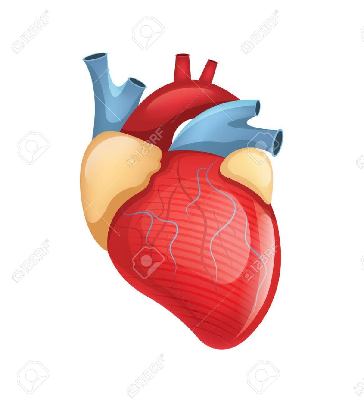 Vector human heart illustration royalty free cliparts vetores e imagens vector human heart illustration ccuart Choice Image