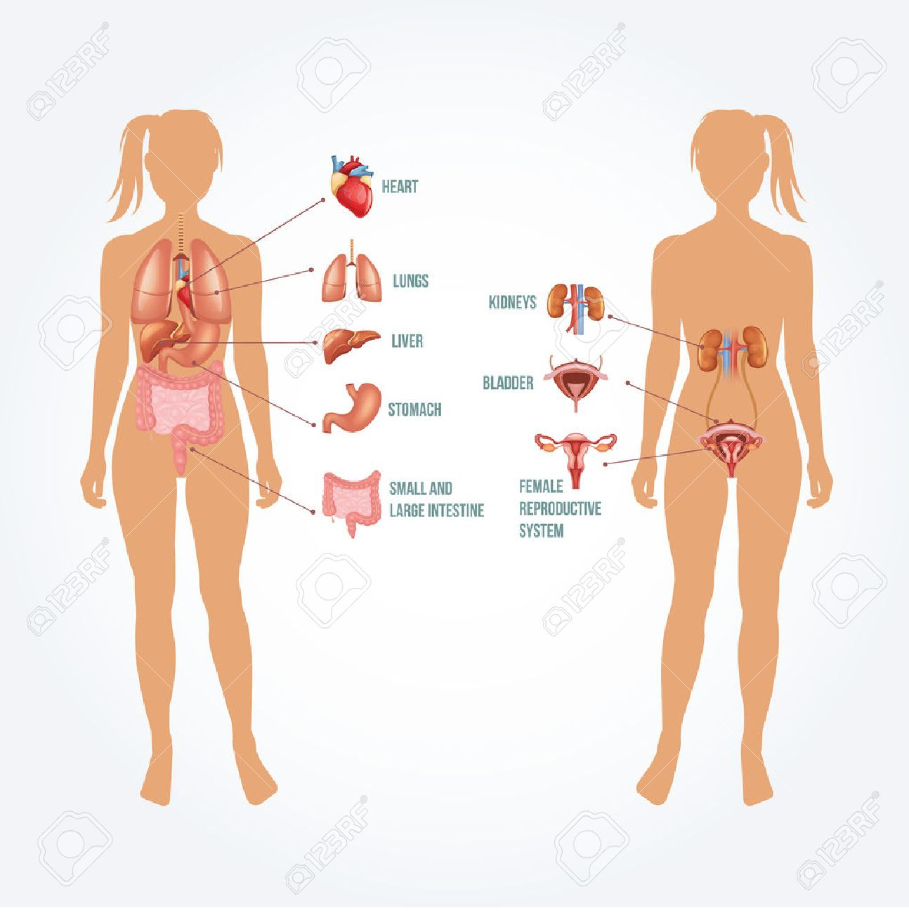 Vector Anatomy Illustration Royalty Free Cliparts, Vectors, And ...