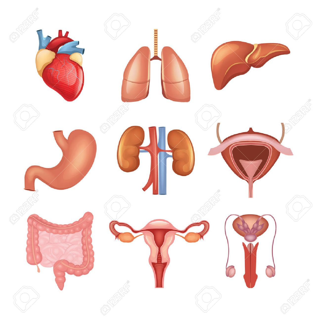 Vector Internal Organs Icon Set Royalty Free Cliparts, Vectors, And ...