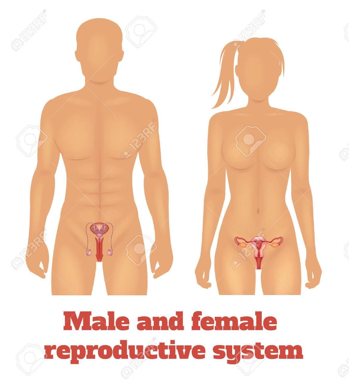 El Hombre Y El Sistema Reproductivo De La Mujer. Ilustración ...