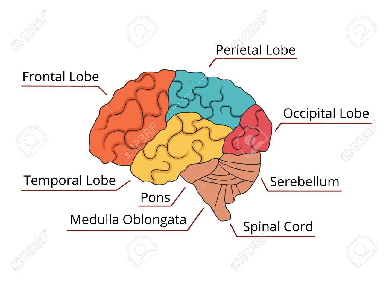 Brain Function Diagram Vector Illustration Royalty Free Cliparts