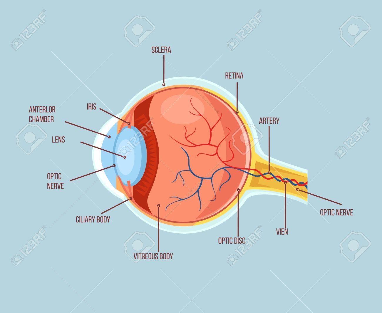 Human Eye Color Structure Anatomy Scheme Flat Cartoon Illustration