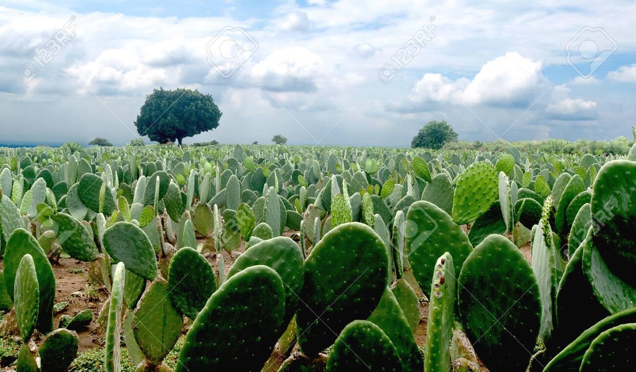 Mexican landscape nopales nopalera field beautiful blue skay horizons - 131273446
