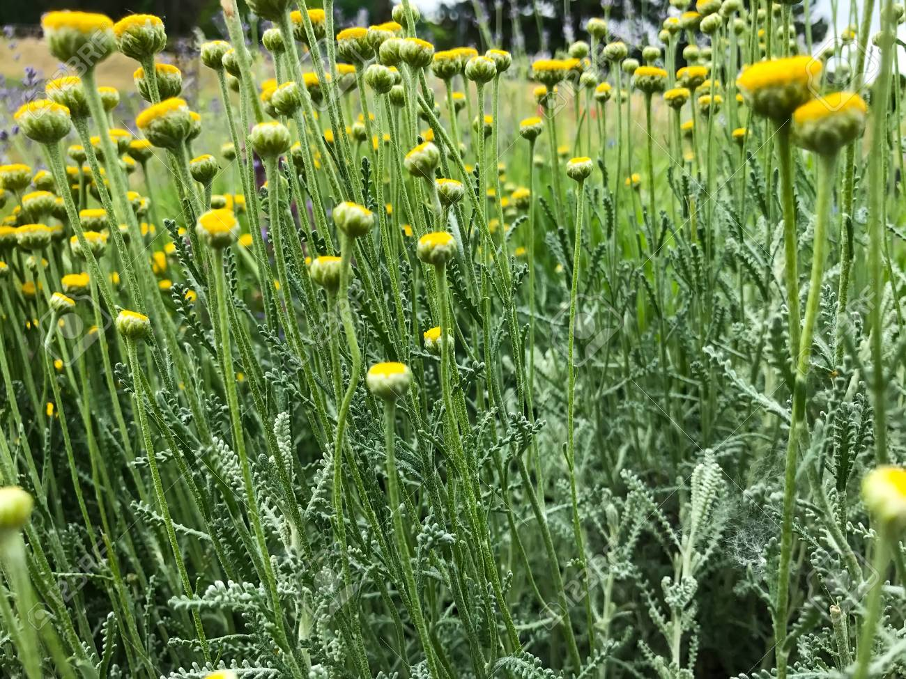Blooming Meadow Yellow Flowers Of Tansy Tanacetum In The Green