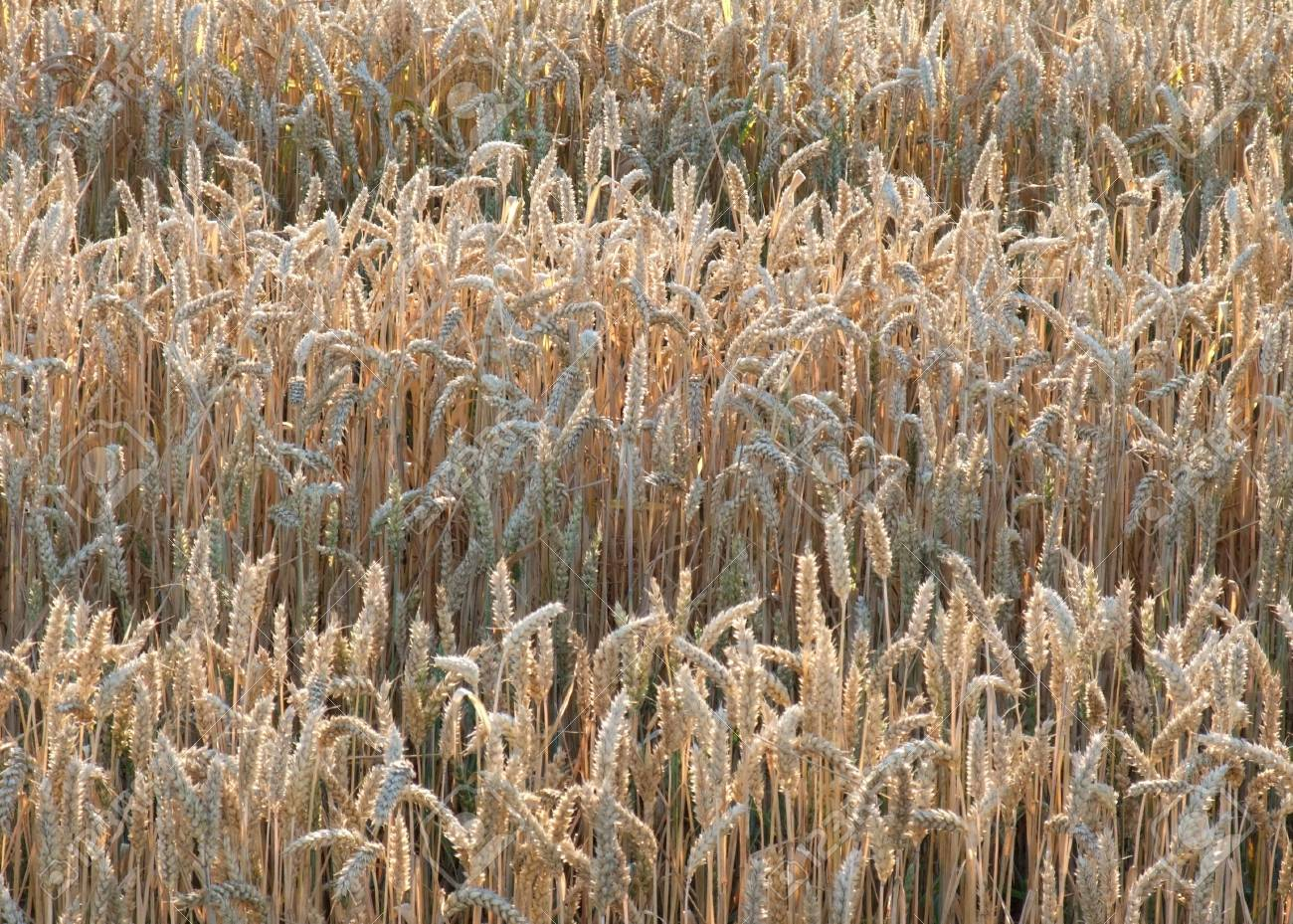 Full Frame Detail Showing Rows In A Wheat Field At Evening Time ...