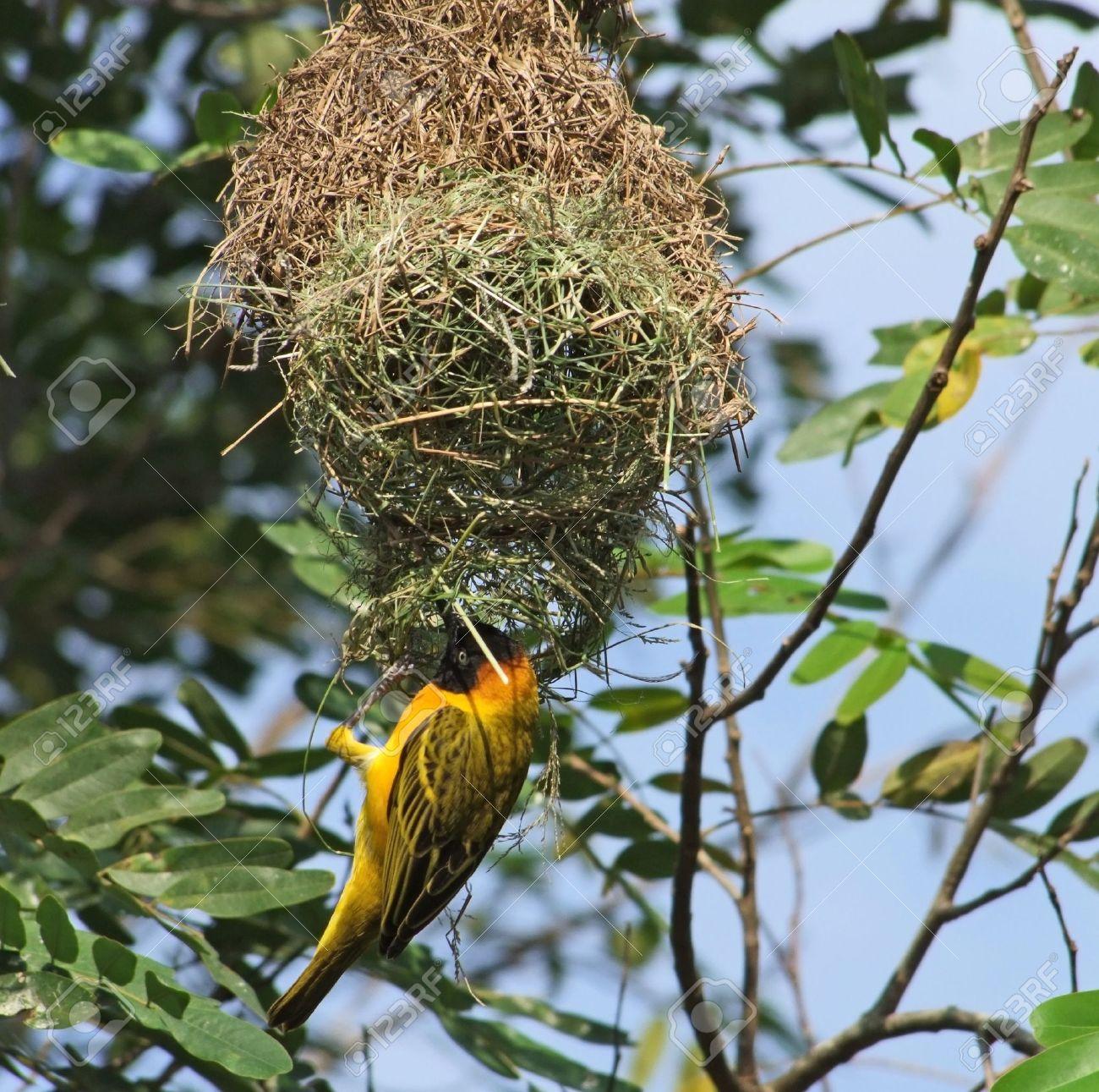 A Bird Named Weaver Bird Building On Its Nest In Uganda Africa