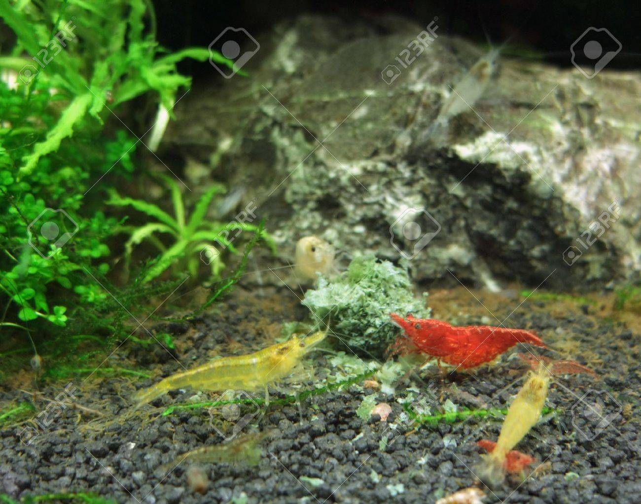 underwater scenery including some fresh water shrimps Stock Photo - 11095219