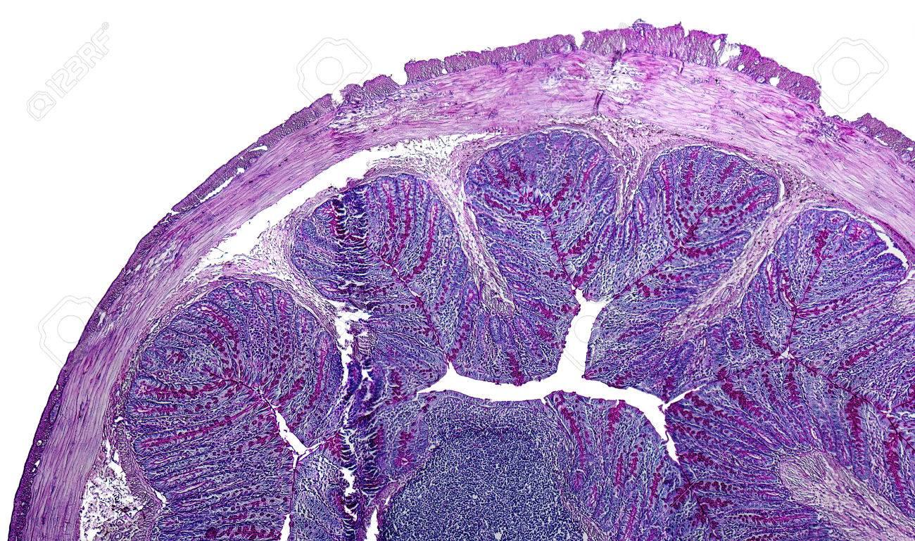 Detalle Microscópico Del Intestino Grueso De Una Rata Fotos ...