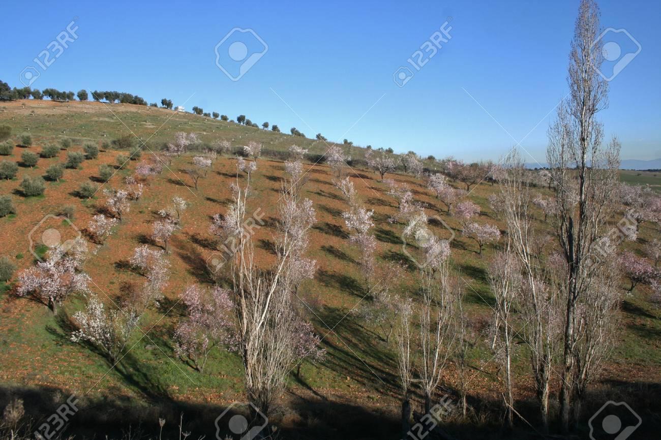Almond blossom Landscape - 12392940