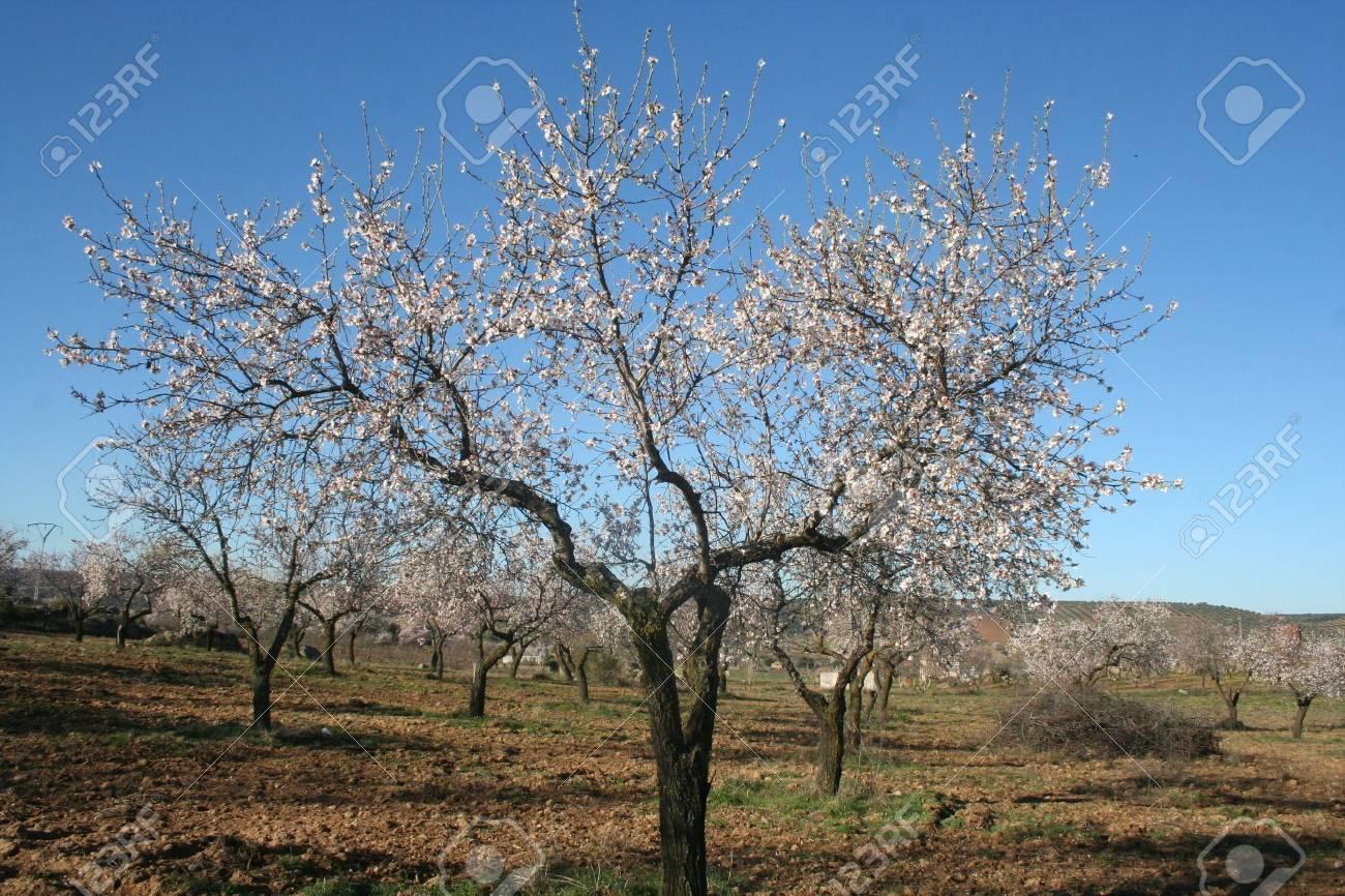 Almond blossom - 12392942