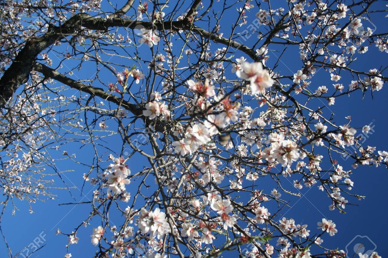 Almond blossom - 12392939