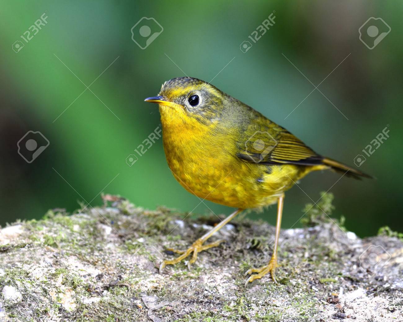 Little Yellow Bird >> Golden Bush Robin The Cute Little Yellow Bird Standing On Rock