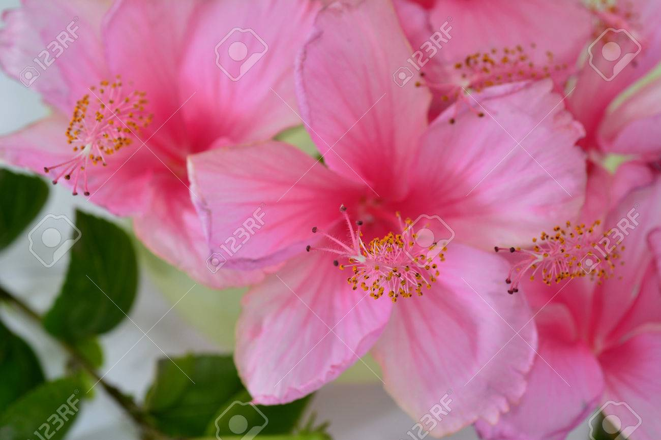 Beautiful Bouquet Of Pink Hibiscus Flowers On White Stock Photo ...