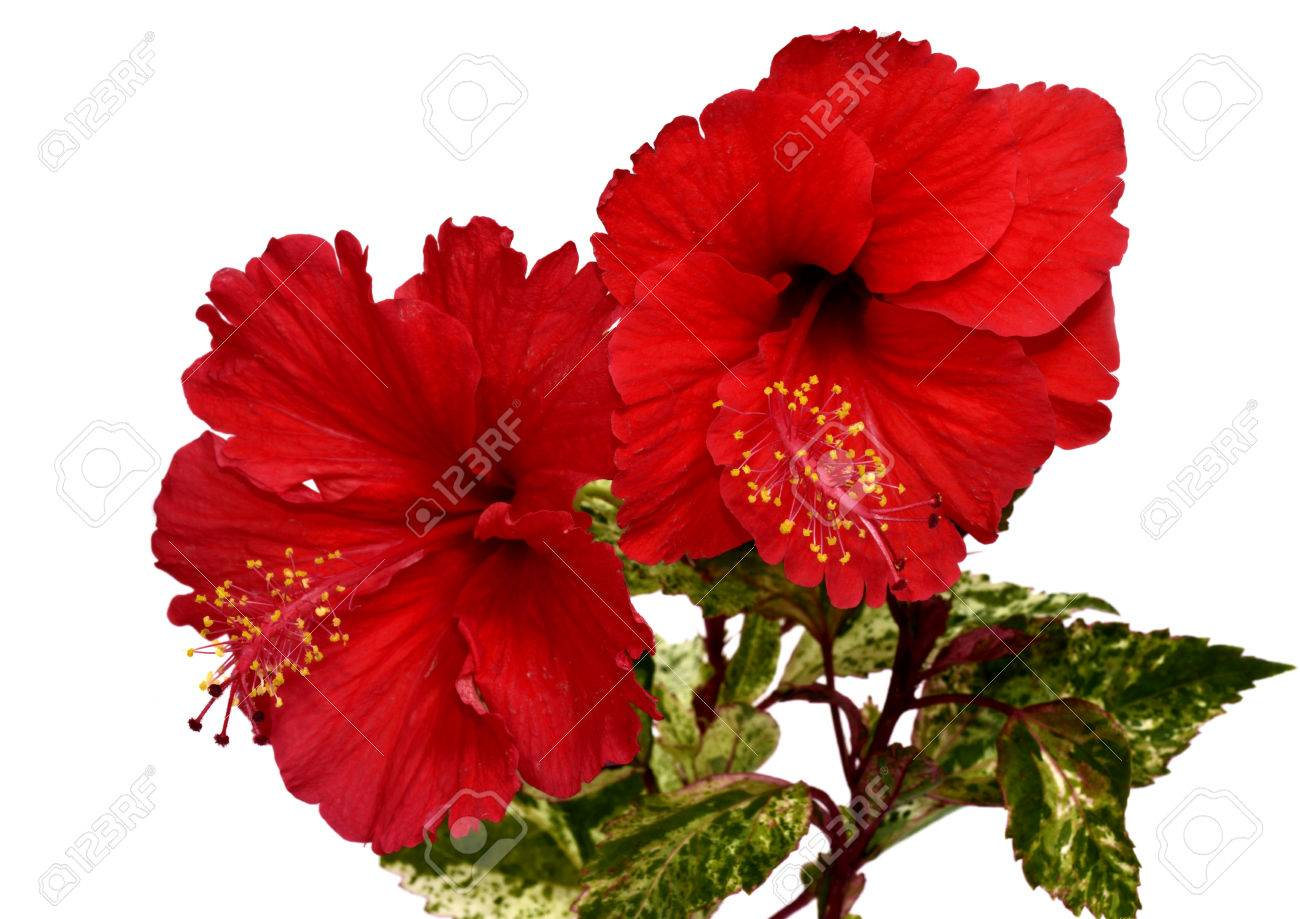 Beautiful Of Chinese Red Hibiscus Flower In Double Bouquet Stock ...