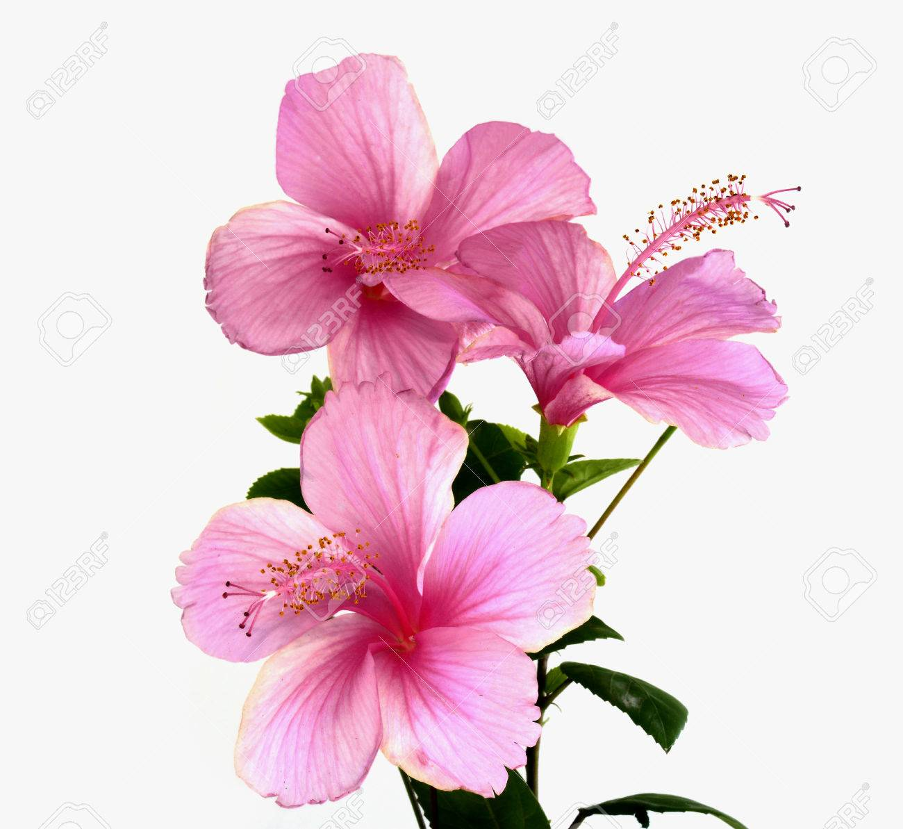 Bunch Of Pink Hibiscus Flower Bouquet Stock Photo Picture And