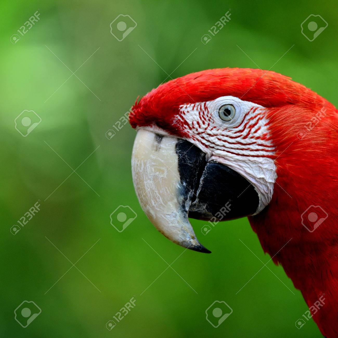 Closeup Face Of Red And Green Macaw Parrot Bird Green Winged Stock Photo Picture And Royalty Free Image Image 26201112