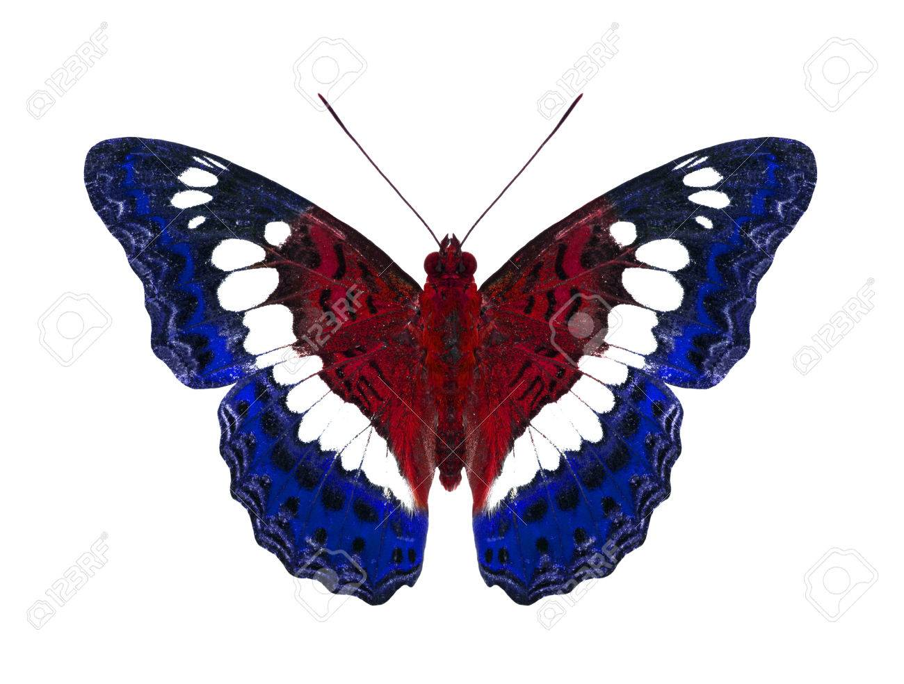 afb8650da86 Common commander butterfly in american flag colors stock photo jpg 1300x984 American  flag butterfly