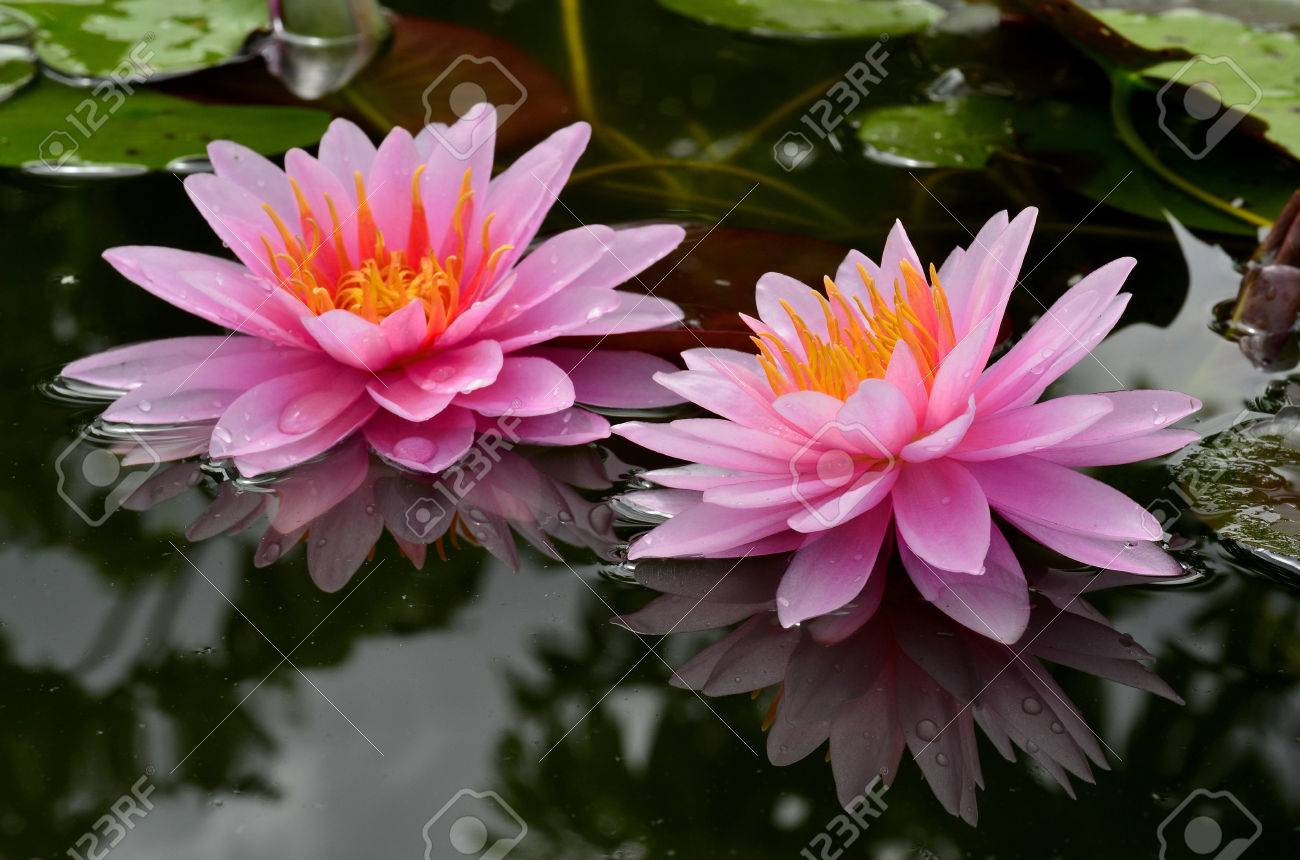 Double Of Beautiful Pink Lotus Flowers Or Waterlity Stock Photo
