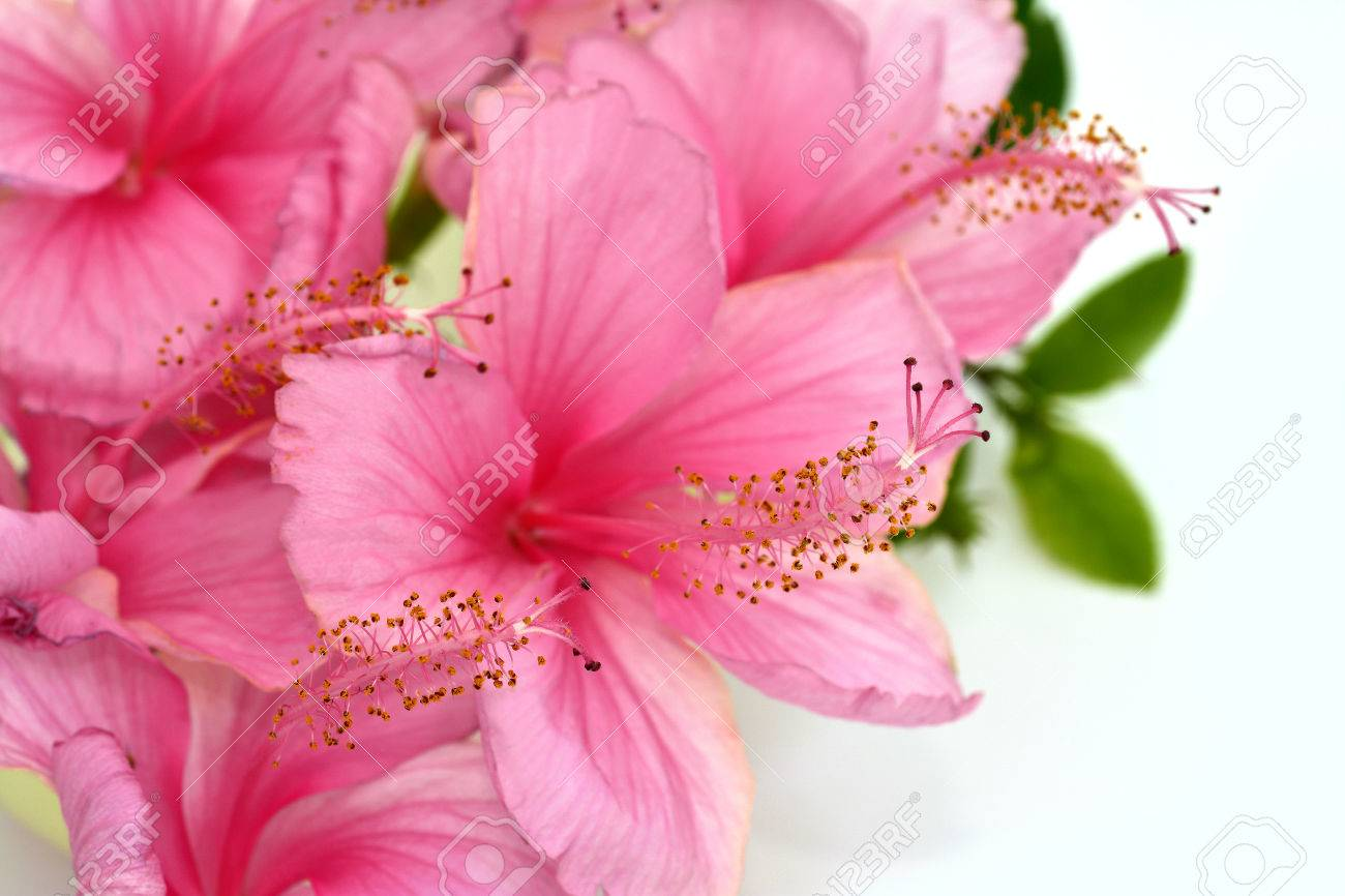 Pink Hibiscus Flower Bouquet Stock Photo Picture And Royalty Free