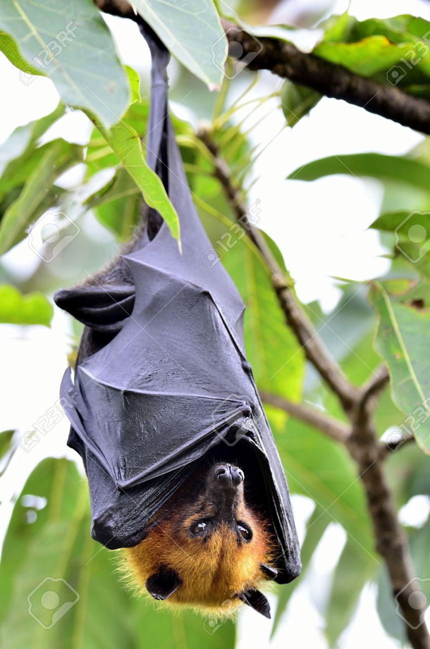 hanging flying fox or big bat waking up with big eyes while hangs