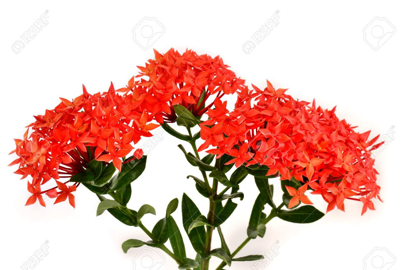 Beautiful Bunch Of Red Ixora Flowers Coccinea On White