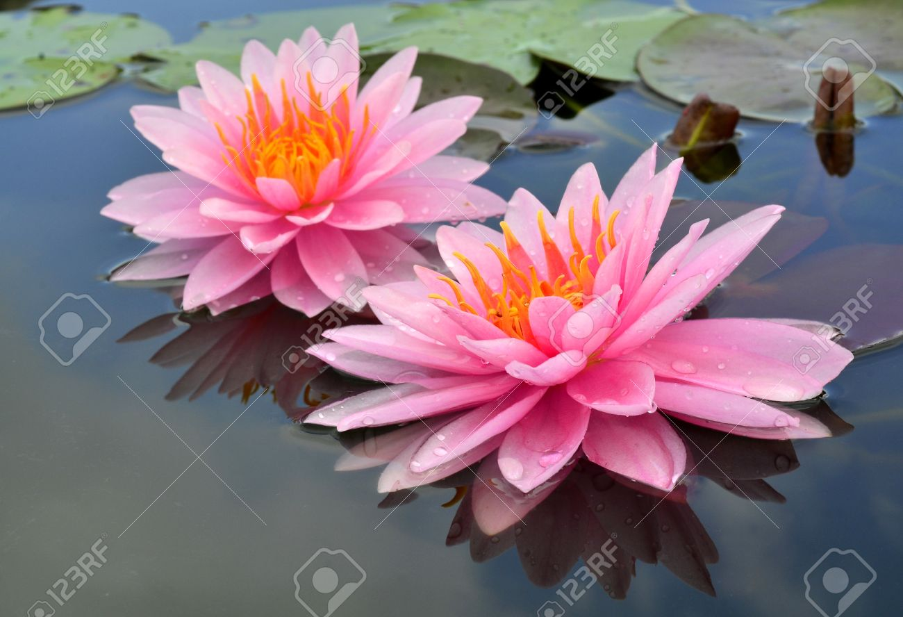 Doubleof Pink Lotus Flowers Or Water Lily With Blue Sky Reflection