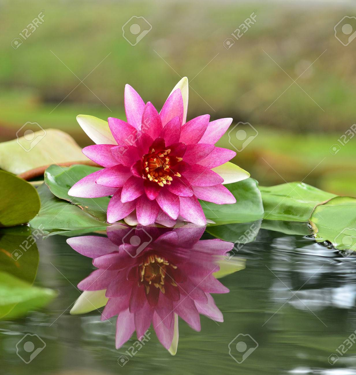pink and red lotus flower or water lily with perfect reflection, Natural flower
