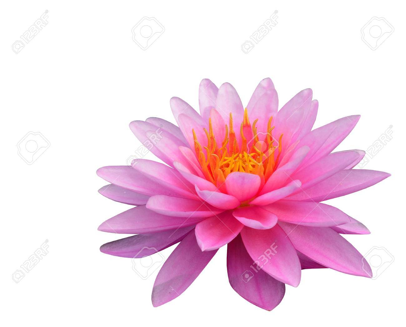 Beautiful Pink Lotus Flower Isolated On White Background Stock Photo