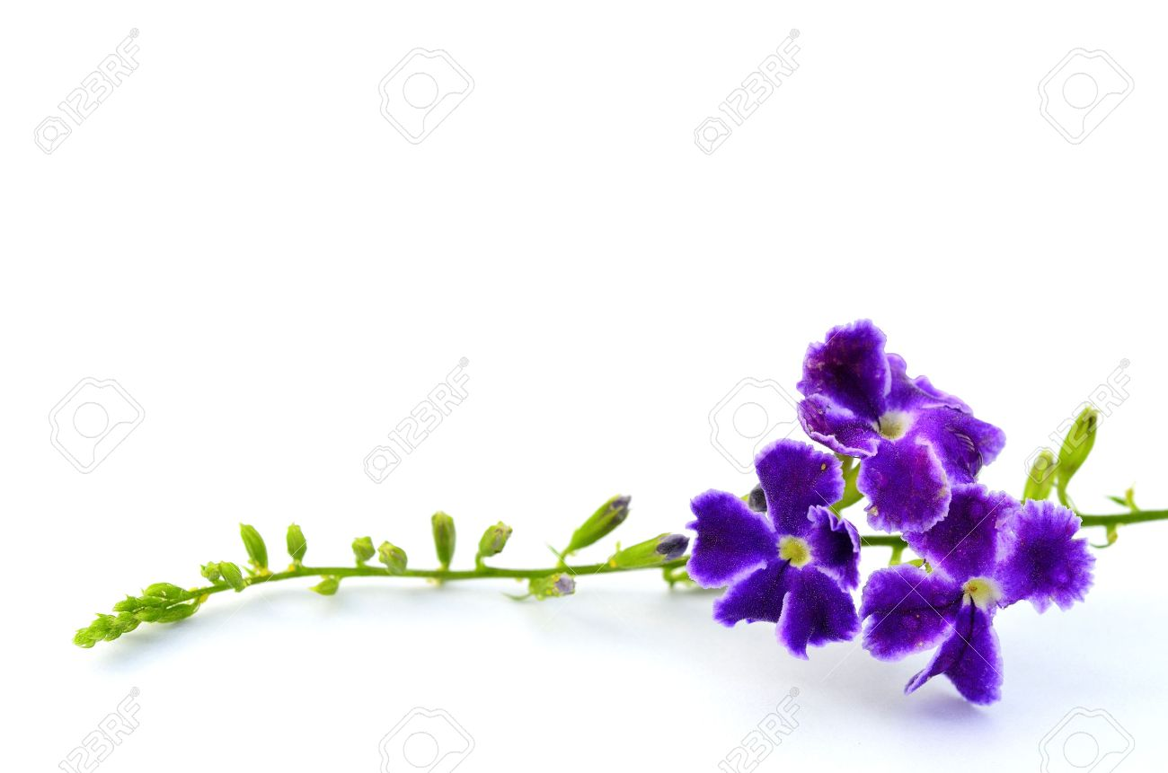 A Bunch Of Purple Flower On White Background For Decoration,.. Stock Photo,  Picture And Royalty Free Image. Image 26639760.