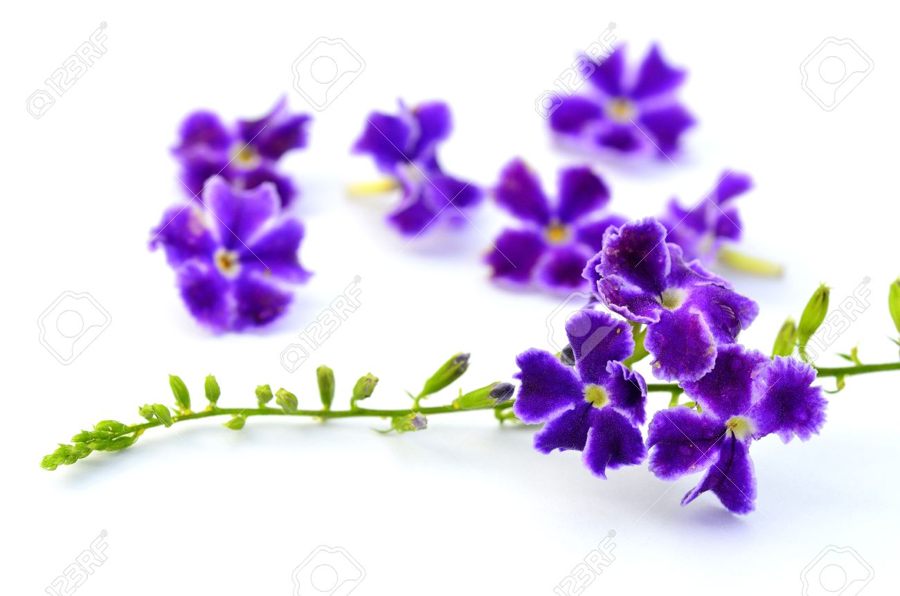 A Bunch Of Purple Flower On White Background For Decoration Stock