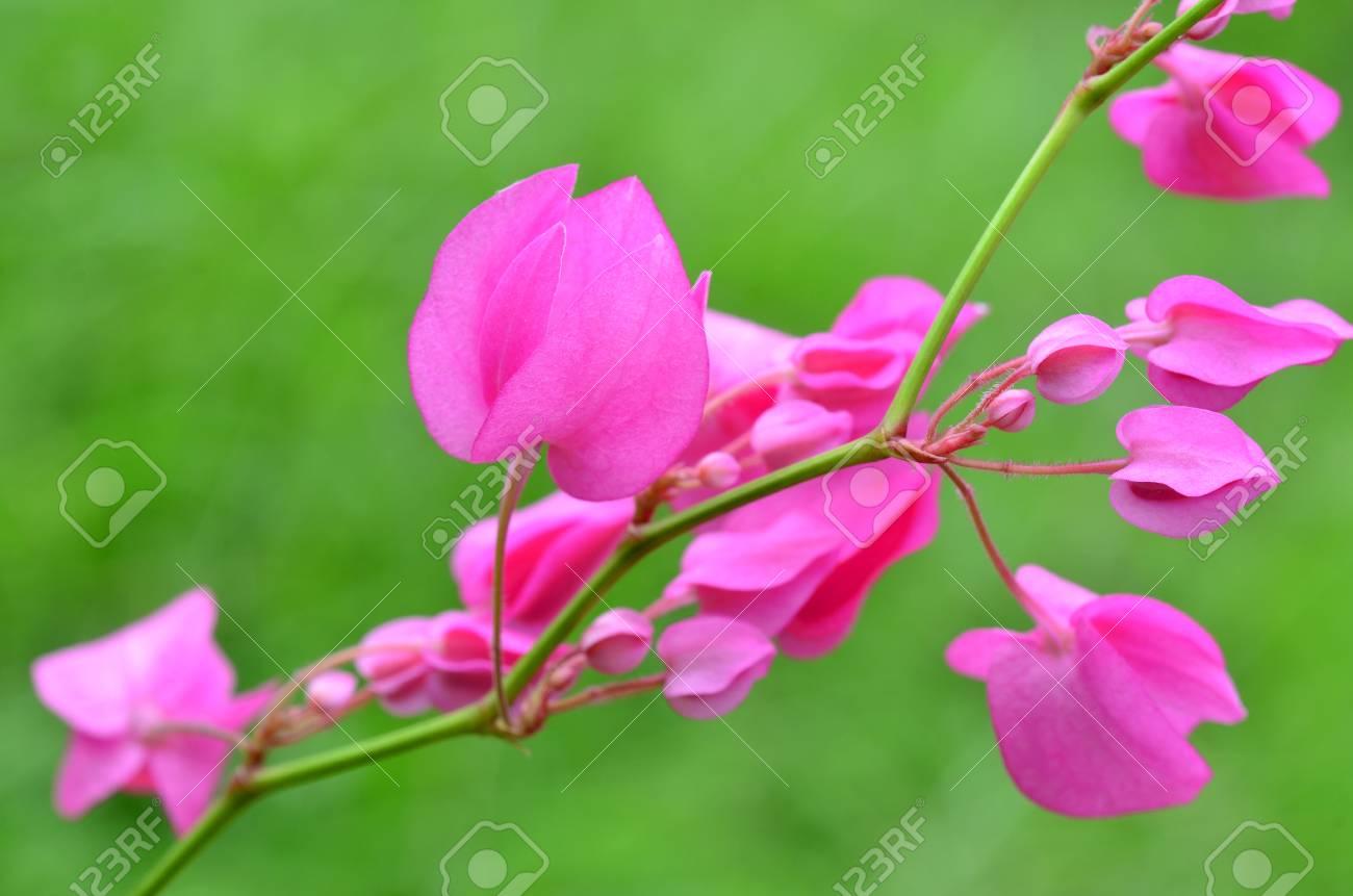plante grimpante avec fleur rose