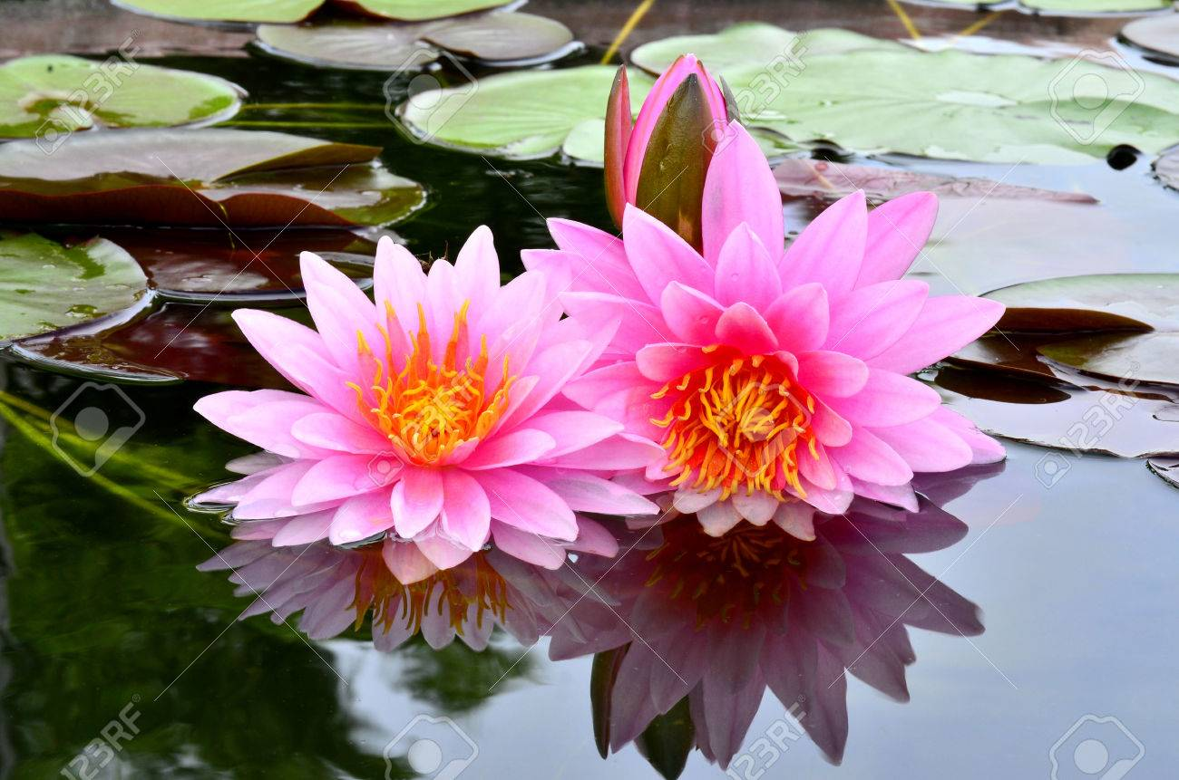 beautiful pink lotus flower with shadow reflection in the water, Beautiful flower