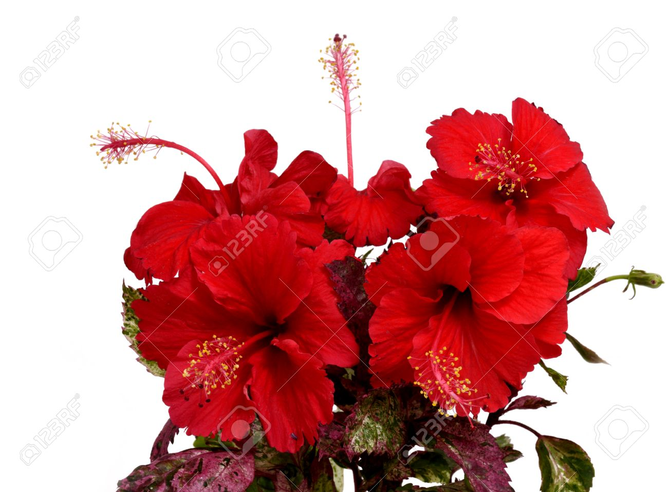 Beautiful Bouquet Of Chinese Red Hibiscus Flower Isolated On Stock