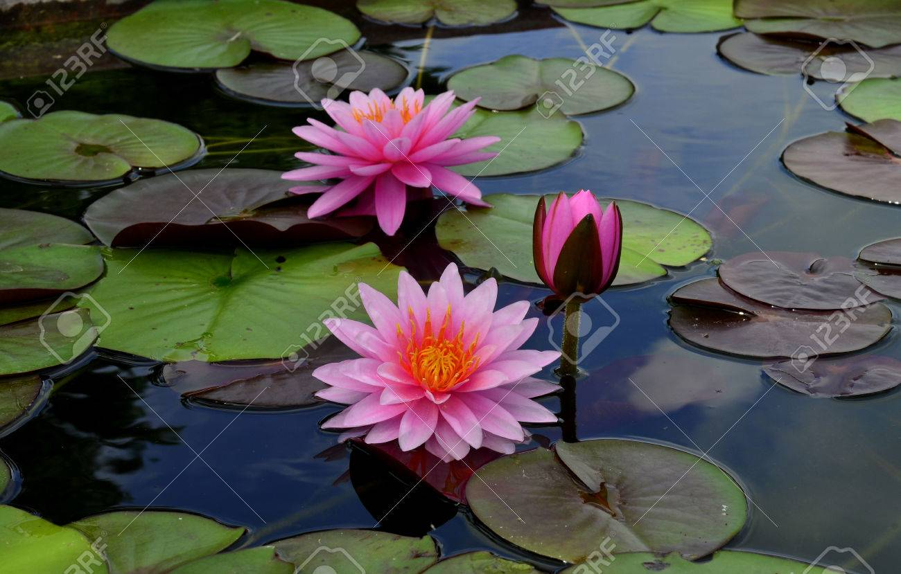 blomming and bud pink lotus flowers or water lily stock photo, Natural flower