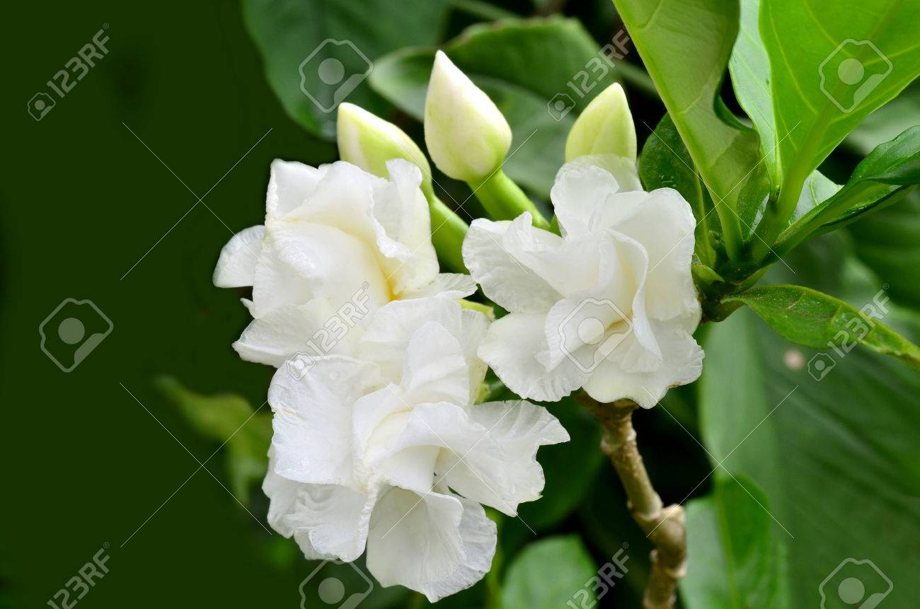White gardenia flower cape jasmine or gardenia jasminoides stock stock photo white gardenia flower cape jasmine or gardenia jasminoides mightylinksfo