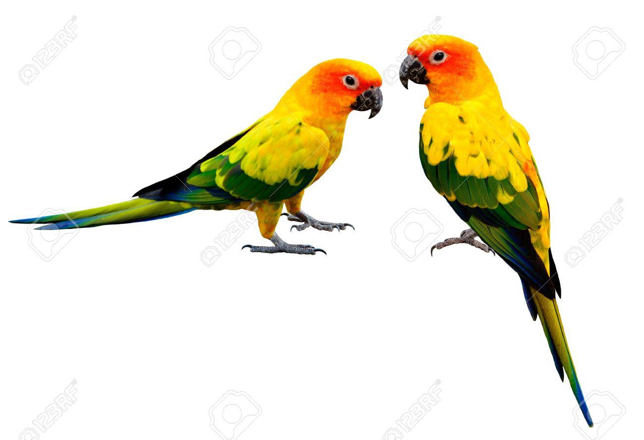 pair of colorful sun conure beautiful yellow parrot birds