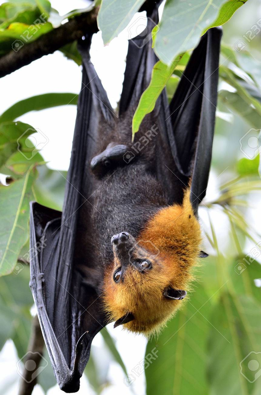 hanging flying fox waking up with big eyes while hangs on the