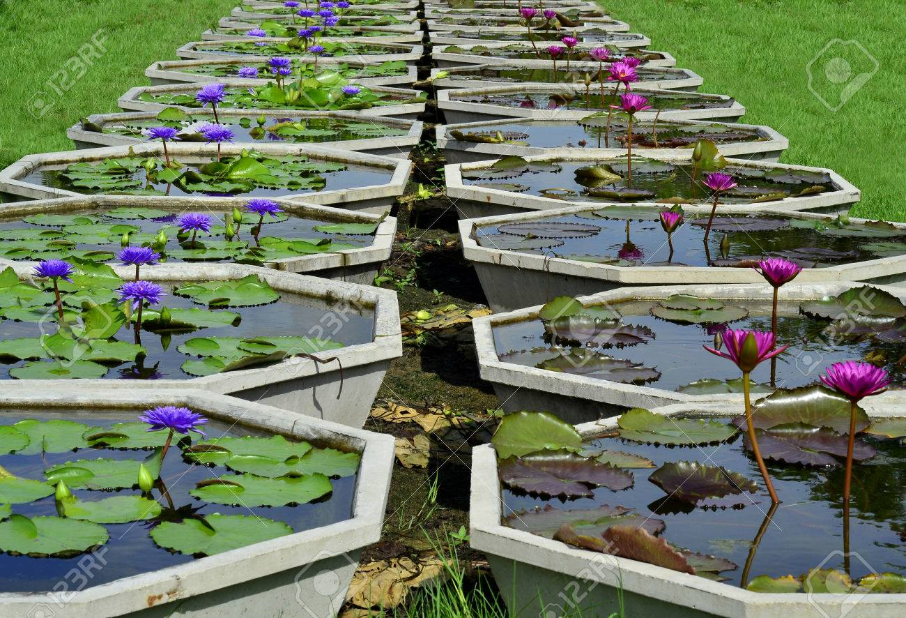 Line Up Of Pools For Lotus Flower Plantation In The Museam Of