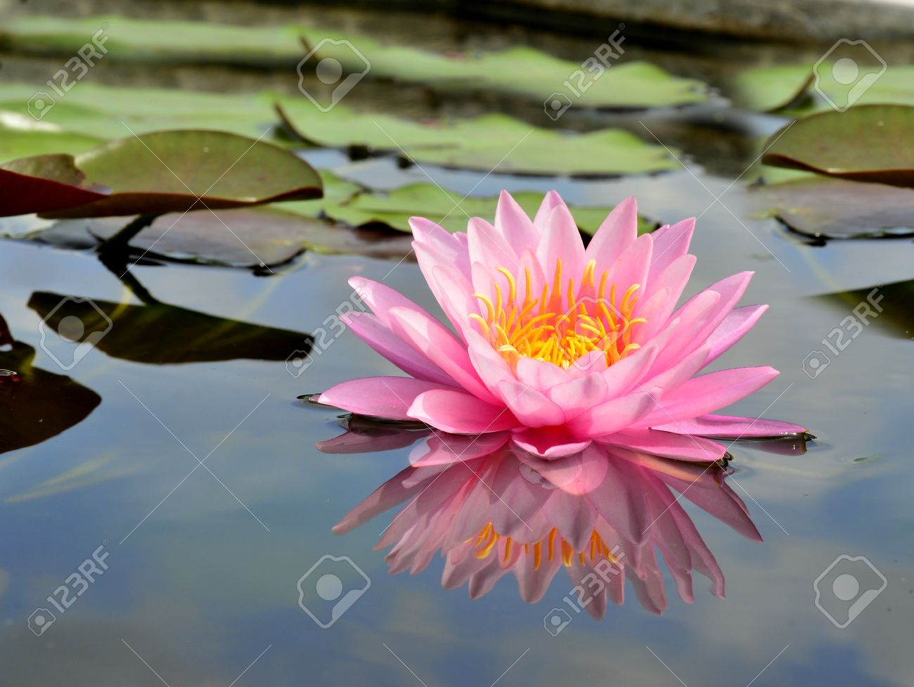 pink lotus flower or water lily with blue sky reflection in water, Natural flower