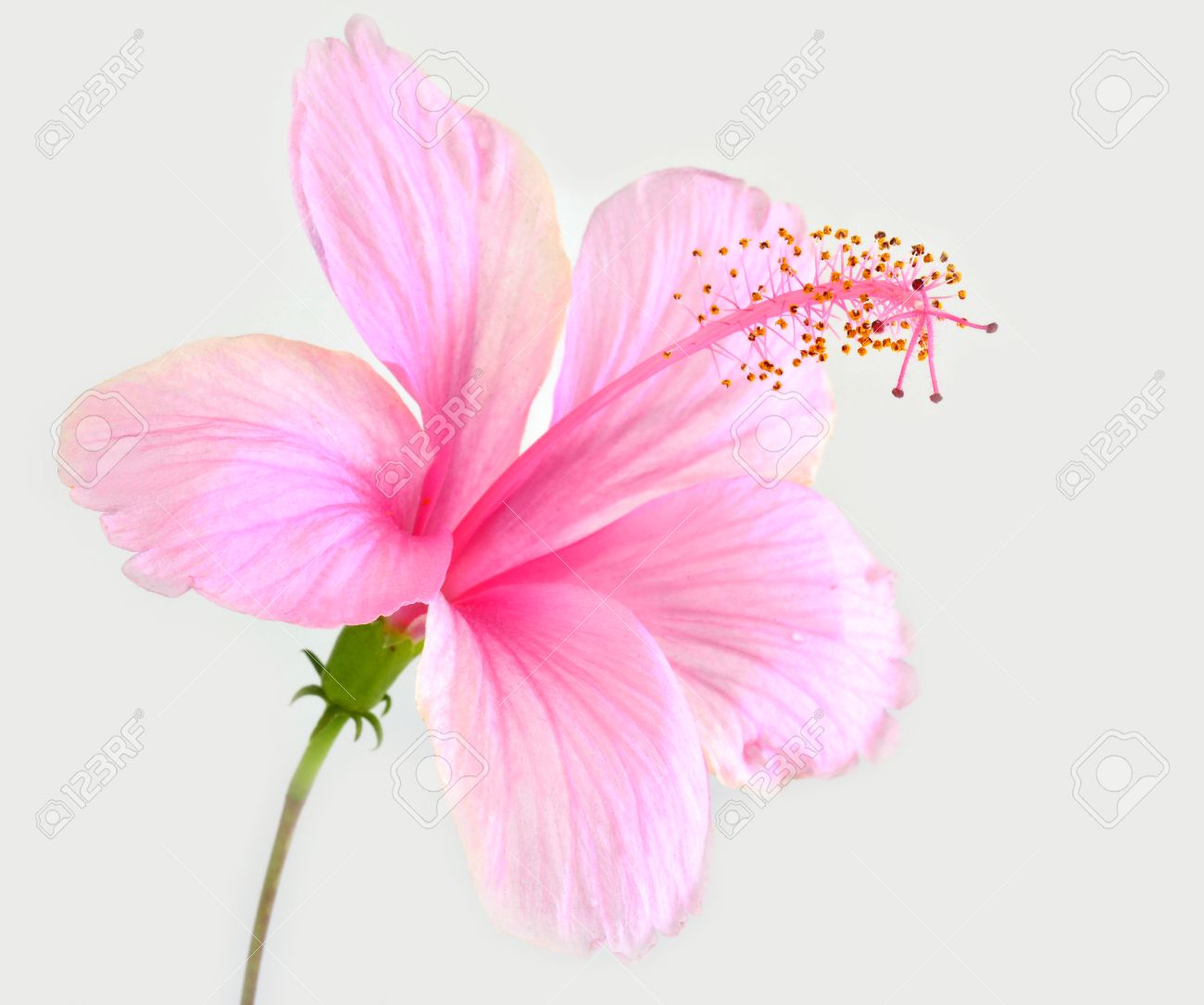 The beautiful of pink hibiscus flower isolated on white background stock photo the beautiful of pink hibiscus flower isolated on white background izmirmasajfo Gallery