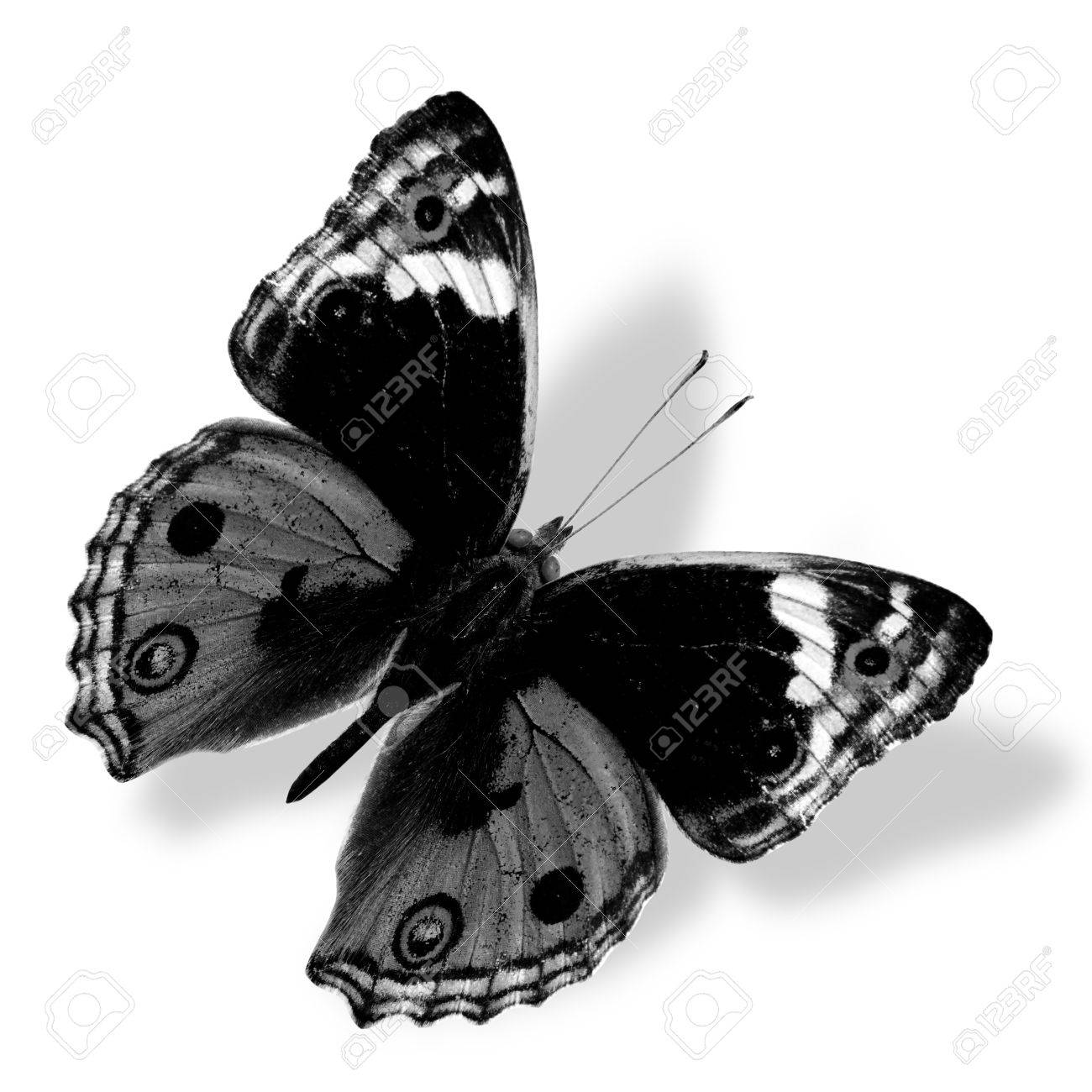 Beautiful Black And White Butterfly Photography