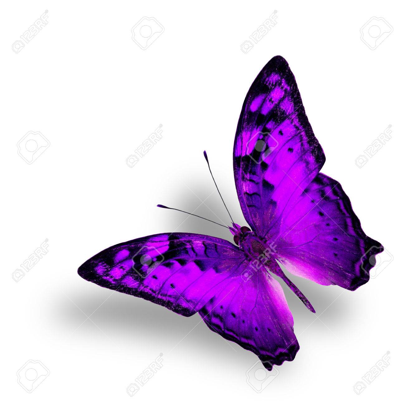 Beautiful Flying Vagrant Butterfly In Fancy Purple Color Profile Stock Photo Picture And Royalty Free Image Image 44530359