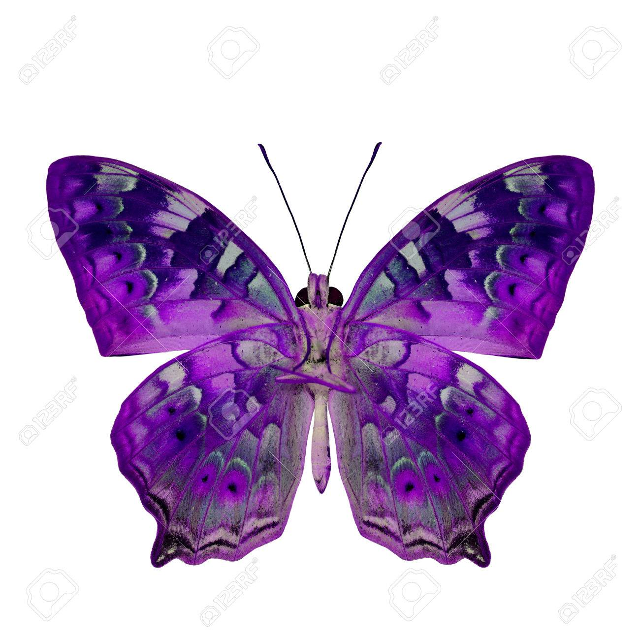 The Beautiful Purple Butterfly In Fancy Color Profile Isolated Stock Photo Picture And Royalty Free Image Image 44530402