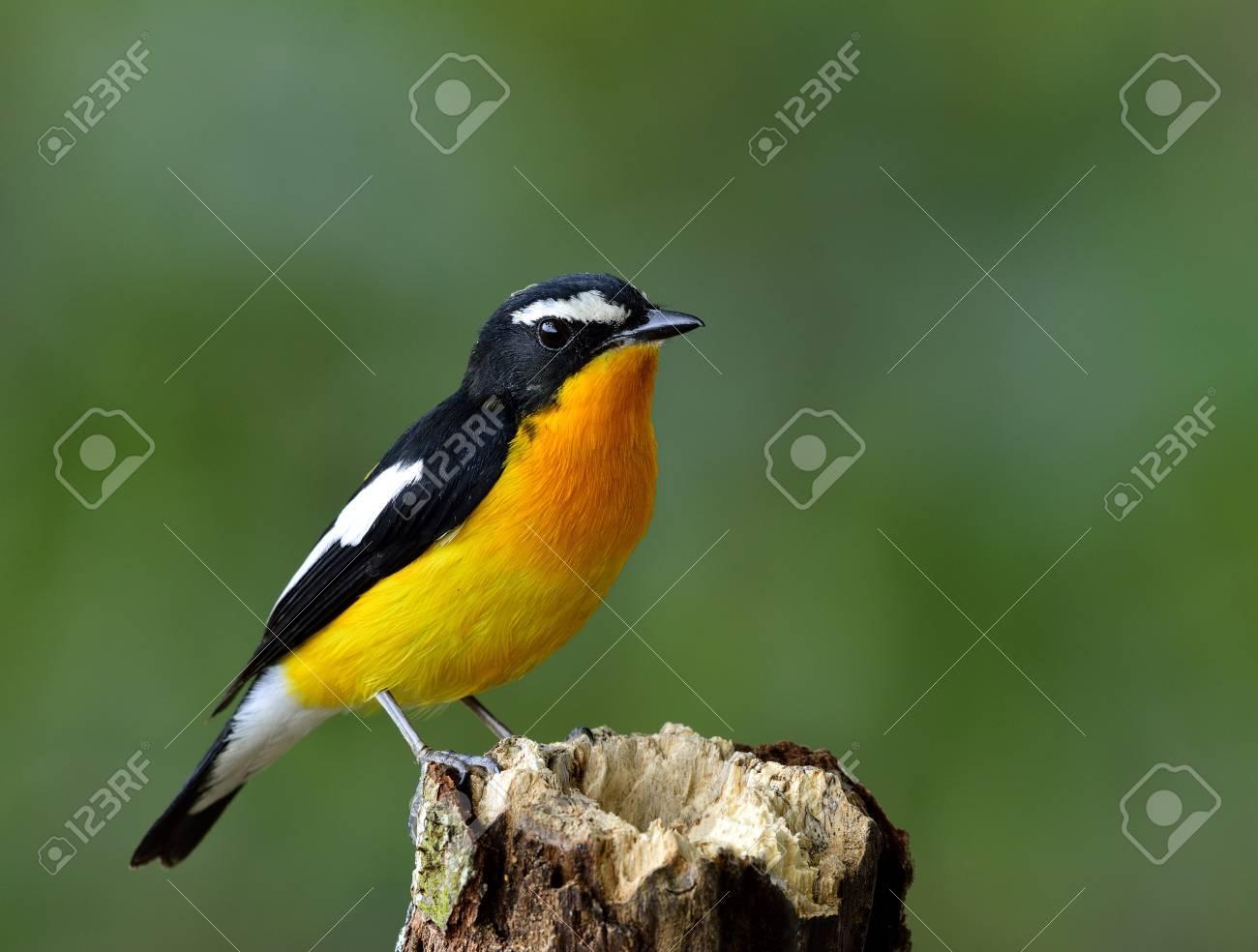 Papamoscas De Color Amarillo-rabadilla (Ficedula Zanthopygia) El ...