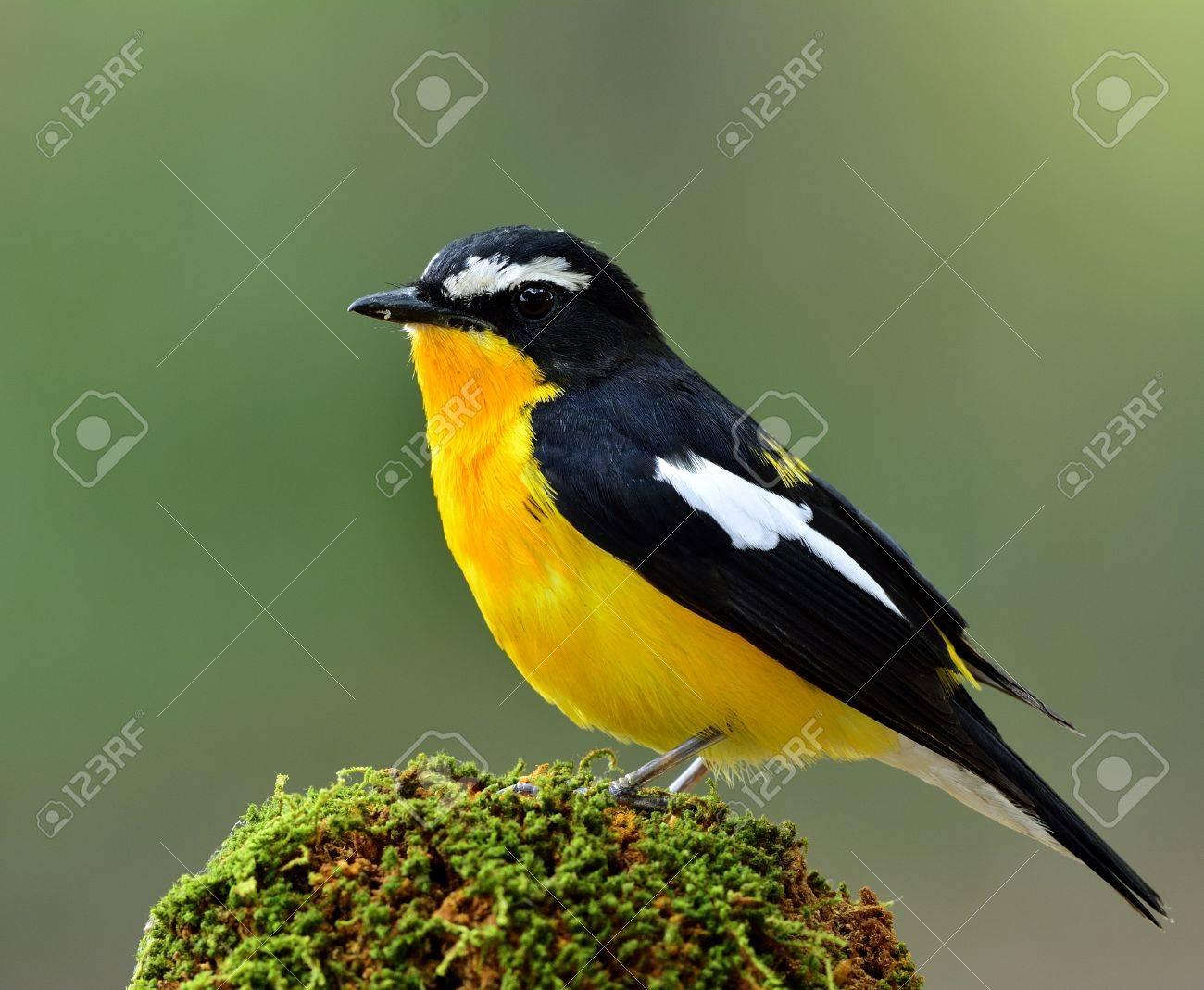 Hombre De Papamoscas De Rabadilla Amarilla (Ficedula Zanthopygia) El ...