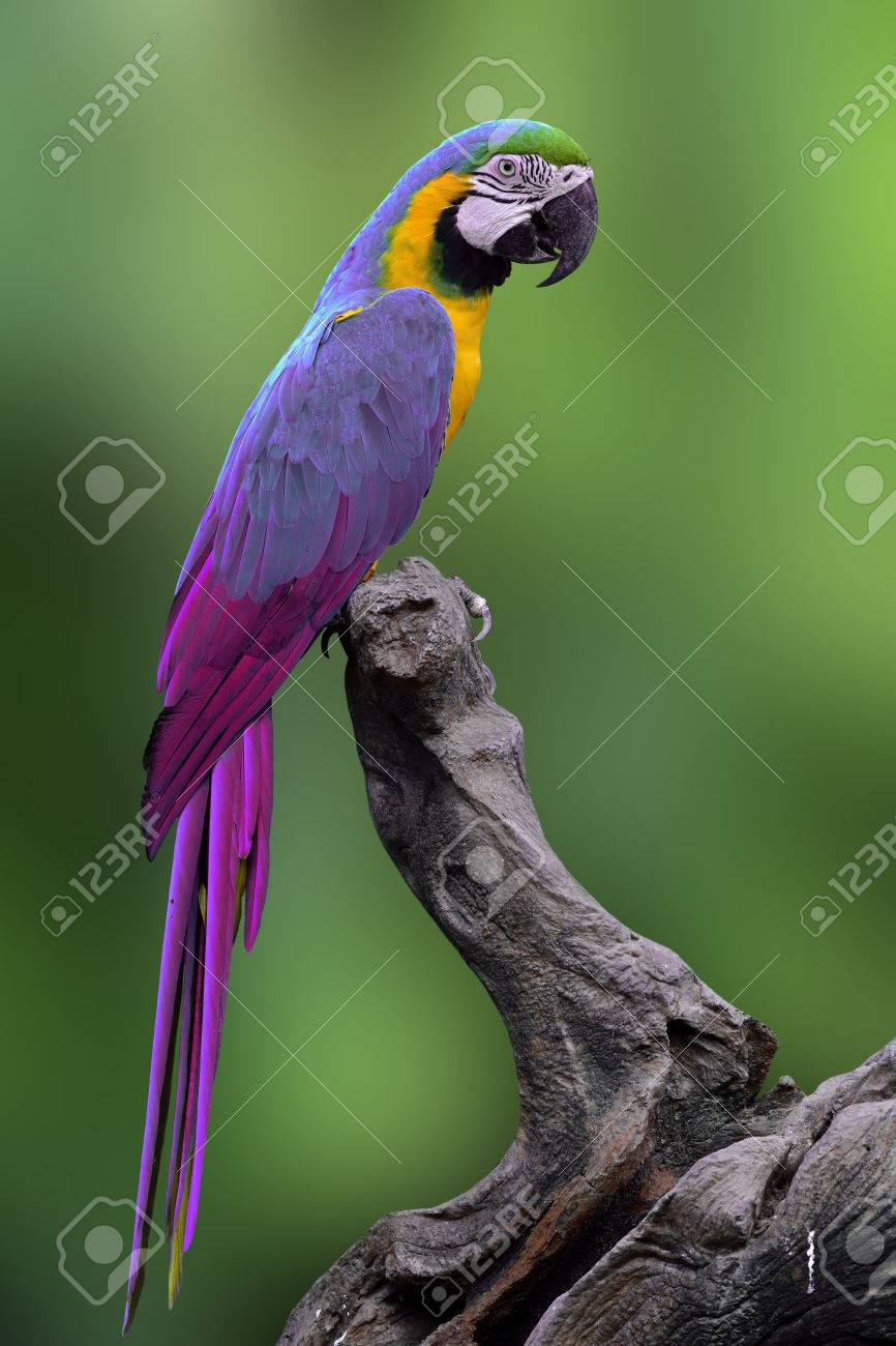 fine purple to blue macaw parrot bird perching on the log with
