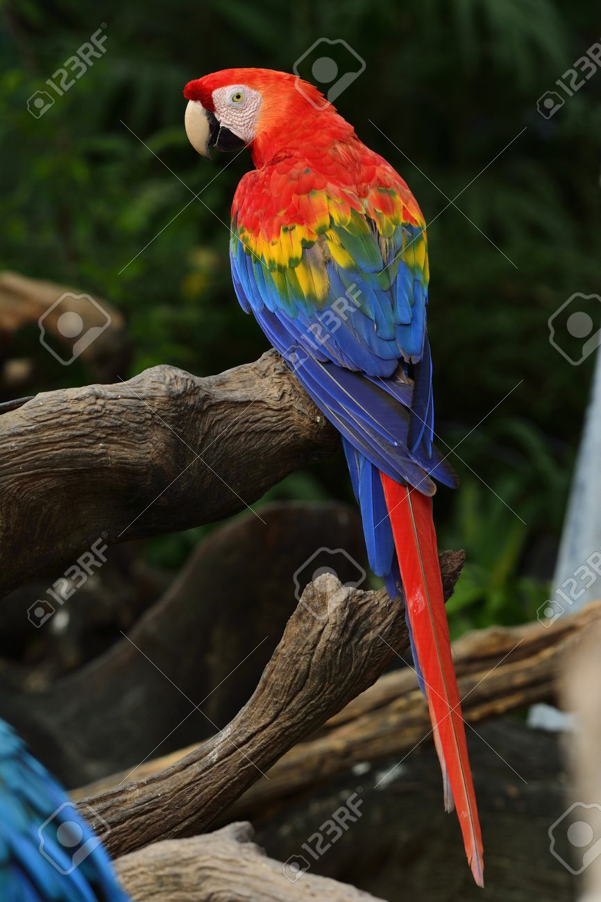 Scarlet macaw parrot bird perching on the wooden log with beautiful
