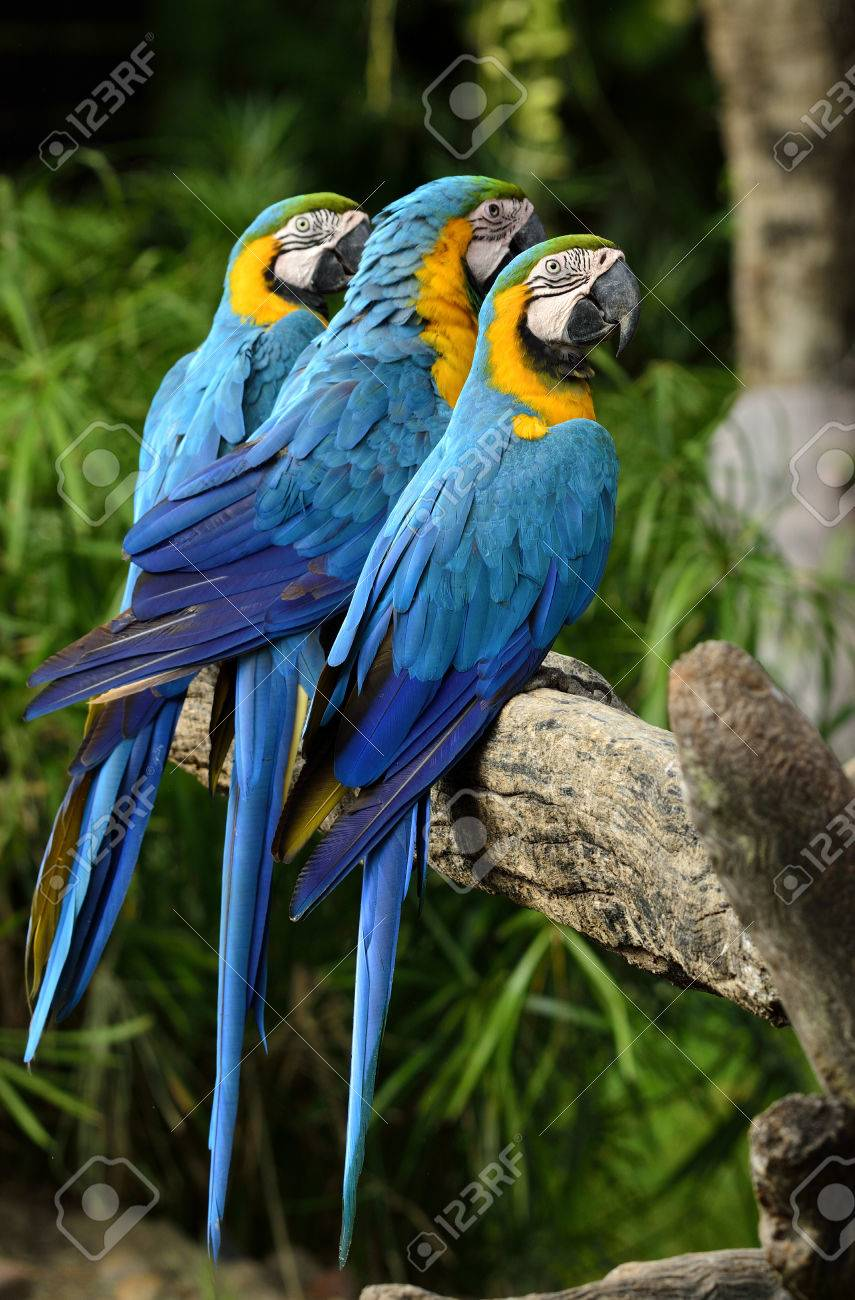 a1b6d610d Coloful Blue and gold macaw parrots, the beautiful blue birds perching on  the log,
